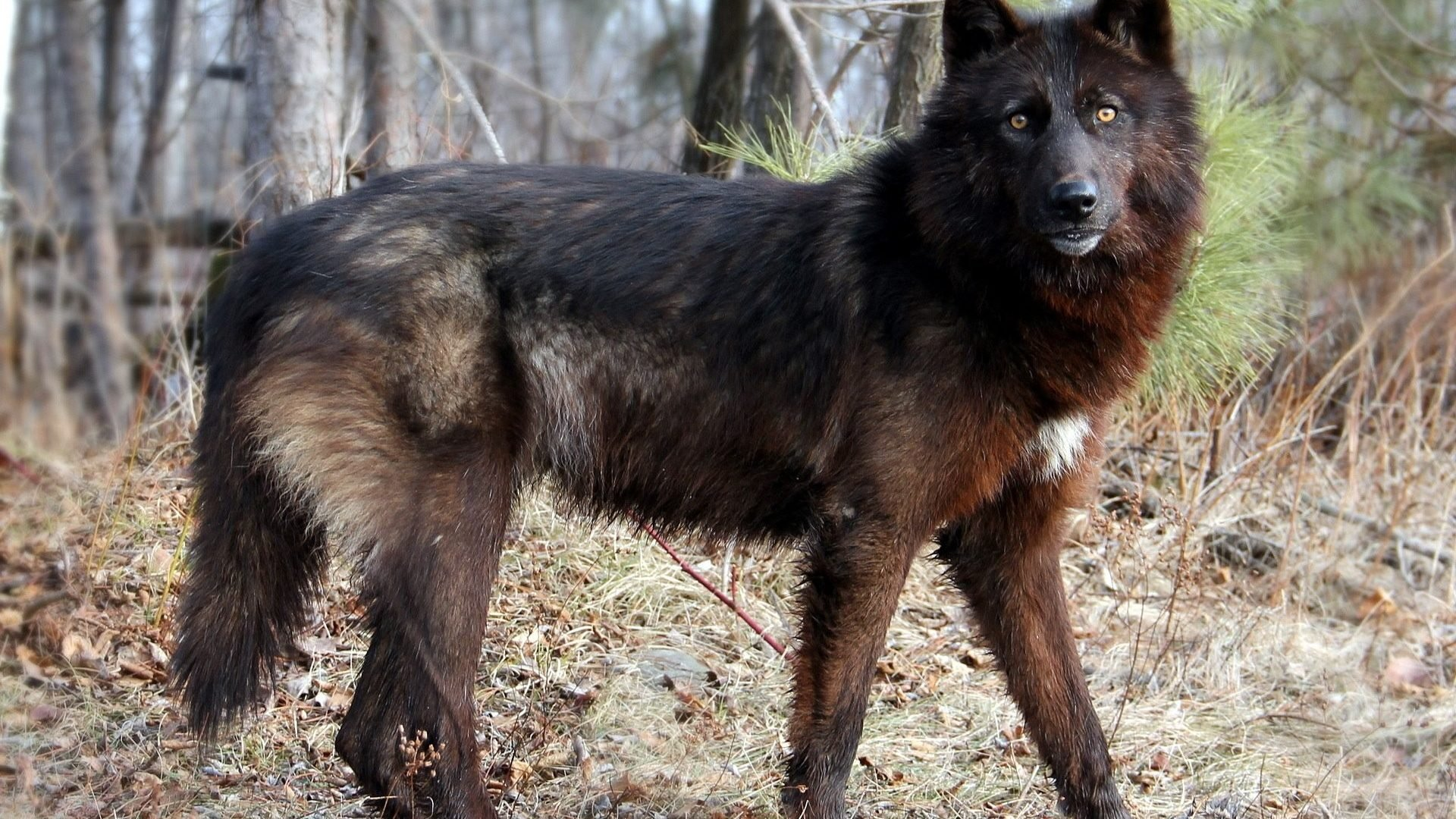 dogs wolf forest nature dog running photo
