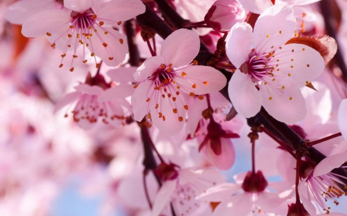 cherry blossom meaning enkivillage